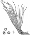 BB-0128 Isoetes gravessi.png