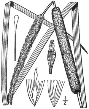 BB-0160 Typha angustifolia.png