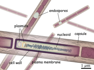 Structure of Bacillus anthracis.