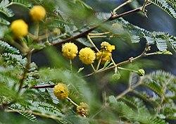 Babool (Acacia nilotica) flowers at Hodal W IMG 1163.jpg