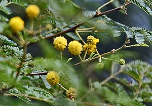 Teeth cleaning twig - Spring blossoms of kikar (also called babool) at Hodal in Faridabad district of Haryana, India