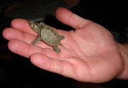 An American map turtle hatchling.