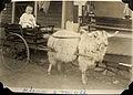 Baby on a goat cart, ca. 1916 (497556195).jpg