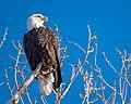 Bald Eagle (27640627919).jpg