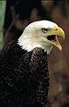 Bald eagle vocalizing at Eastern Neck National Wildlife Refuge. (21818868859).jpg