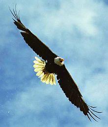 عقاب سرسفید پرنده ملی آمریکا از سال ۱۷۸۲ میلادی
