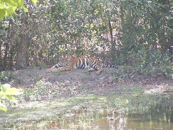 Bandhavgarh tiger.jpg