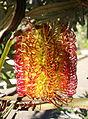 Banksia littoralis - San Francisco Botanical Garden - DSC09803.JPG