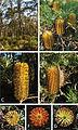 Banksia neoanglica at neotype locality - PhytoKeys-014-057-g006.jpeg