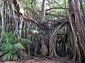 Banyan Tree (32441377780).jpg