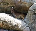 Barbary sheep (13945311862).jpg