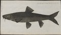 Barbus vulgaris - 1778-1786 - Print - Iconographia Zoologica - Special Collections University of Amsterdam - UBA01 IZ15000102.tif