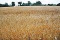 Barley field in Varangeville-sur-mer.jpg
