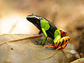 Baron's mantella (Mantella baroni), Vohimana reserve, Madagascar (11425150026).jpg