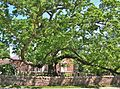 Basking Ridge Oak - white oak tree in Basking Ridge, New Jersey, May 2013 01.jpg