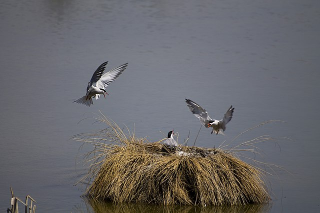 Argument between a group of common terns