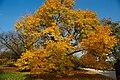 Baum mit Herbstlaub.JPG