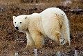 Bear (6371796439).jpg