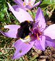 Bee on Autumn Crocus. Bombus vestalis - Flickr - gailhampshire.jpg