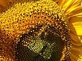 Bee on a sunflower - geograph.org.uk - 555925.jpg