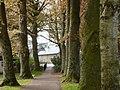 Beech tree avenue, Upton Park, Torquay - geograph.org.uk - 1842797.jpg