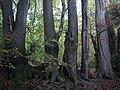 Beeches on edge of Banstead Wood - geograph.org.uk - 583794.jpg