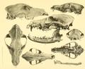Beitrag zur Kenntnis der nordafrikanischen Schakale nebst Bemerkungen über deren verhältnis zu den haushunden, insbesondere uordafranischen und altägyptischen Hunderassen (1908) Tafel 8.png