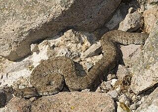 <i>Macrovipera schweizeri</i> species of reptile