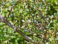 Berberis microphylla-CTJ-IMG 7212.jpg