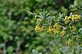 Berberis vulgaris 11.jpg