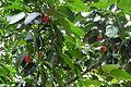 Beruas fruit (Garcinia hombroniana).JPG