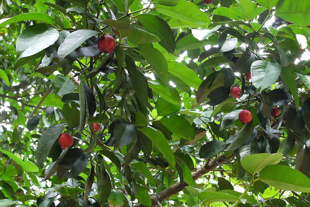 garcinia kola fruit