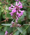 Betony - Stachys officinalis - geograph.org.uk - 215982.jpg