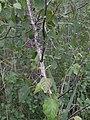 Betula pubescens Baeumchen.jpg
