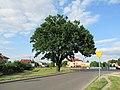 Biala-Podlaska-19MHZAIJ-Quercus-robur.jpg