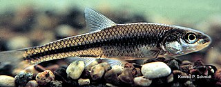 Bigmouth shiner Species of fish