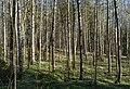 Birch forest Gullmarsskogen 12.jpg