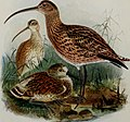 Birds of Britain (1907) (14753091124).jpg