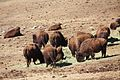 Bison herd at Genesee Park-2012 03 10 0600.jpg
