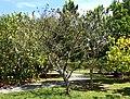Bixa orellana - Fruit and Spice Park - Homestead, Florida - DSC08969.jpg