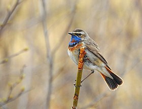 Blåhake Bluethroat (20162398078).jpg