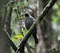 Black-faced Solitaire (7047601725).jpg
