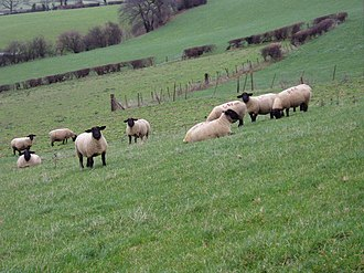 Woollen industry in Wales - Black-faced sheep on western side of the Vale of Clwyd
