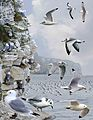 Black-legged Kittiwake from the Crossley ID Guide Britain and Ireland.jpg