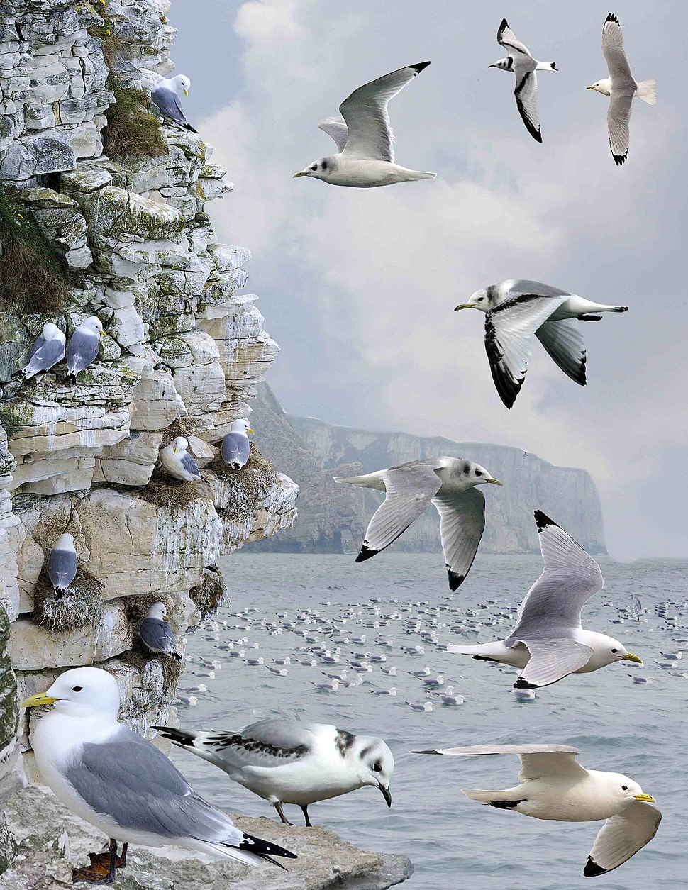 Black-legged Kittiwake from the Crossley ID Guide Britain and Ireland