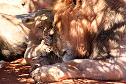 Black-maned lion and cub 2.jpg