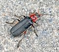 Black-red insect.jpg