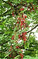 Black Bryony berries in Rosemary Lane - geograph.org.uk - 251287.jpg