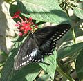 Black Butterfly Tasting A Flower.jpg