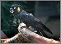 Black Cockatoo at Cairns-02and (3121750971).jpg